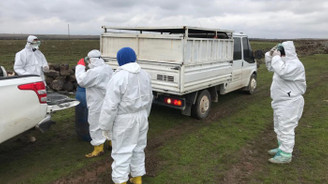 Şanlıurfa'da kuş gribi şüphesi: 200 tavuk itlaf edildi