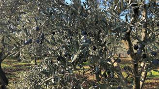 Zeytin ve zeytinyağının peşinde Akhisar'da…