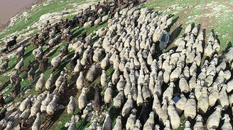 300 Koyun Projesi 2019'da tamamlanacak