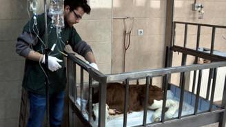 Hasta buzağılara 'hastane' hizmeti