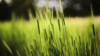 """""""Yerel buğday çeşitleri sigorta işlevi görüyor"""""""