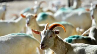 'Mutlu keçiler'e dünya klasikleri ve Türk sanat müziği dinletiyorlar
