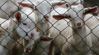 Keçi ıslahı projesinde ilk yavrular alındı