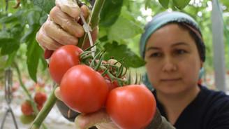 Topraksız seradan Rusya'ya domates ihracatı
