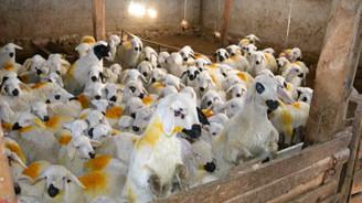 Koyun üreticileri dişi kuzuya ek destek istiyor