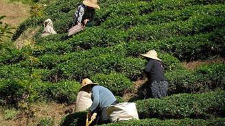 Yaş çay destekleme ödemeleri 6 Nisan'da başlıyor
