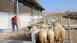 300 koyun projesi yetiştiriciyi umutlandırdı