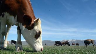 Süper teşvik ile hayvancılıkta atılım bekleniyor