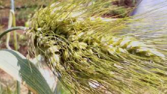Buğdayın atası siyezde yüksek verim beklentisi