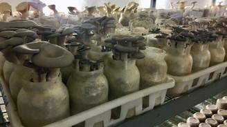 Güney Kore'nin şişe kültürü ile mantar üretimi 5 kat artırılacak