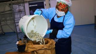 Avrupalılar, gümüş balığını çerez olarak tüketiyor