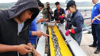 Üniversite öğrencileri günde 50 bin balık aşılıyor