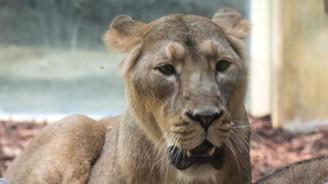 Aslan, kaplan ve jaguar kaçtı, evden çıkmayın uyarısı yapıldı