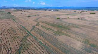 Yağmur yağınca buğday tarlada kaldı