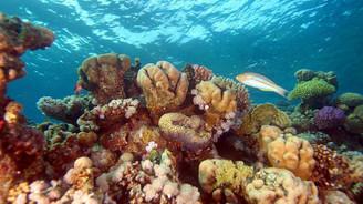 Pasifik'in güneyinde rekor mercan kaybı