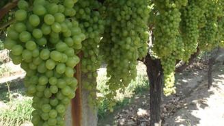 Yaş üzüm ihracatı yüzde 43 arttı