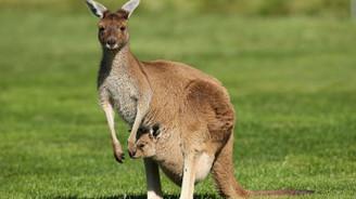 Avustralya'da kuraklık sebebiyle kanguruları öldürme izni çıktı