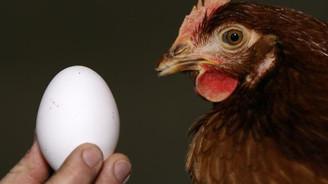 Kanser ilacı yumurtlayan tavuklar yetiştirildi