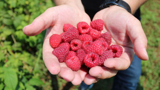 Tarım A.Ş. 630 milyon dolarlık ahududu pazarını gözüne kestirdi