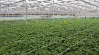 Konya Şeker'den maliyet azaltıcı patates tohumu