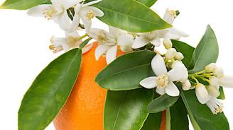 Portakal çiçekleri, bahar otları ve enginarlar festivallerle kutlanıyor