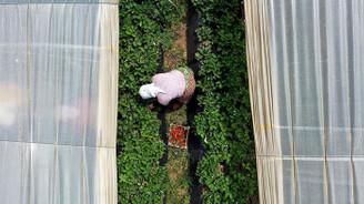 Kadınlar çilek ihracatı için kolları sıvadı