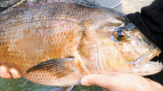 Akuvatur, balıkçılığa yeni bir melez ırk kazandırdı