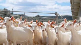 Keçi peynirine tağşiş iddiası mahkemelik oldu