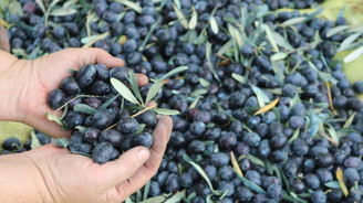 Zeytin alımı 31 Aralık'ta sona erecek