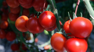 Rusya, Türkiye'den domates ithalat kotasını artırdı