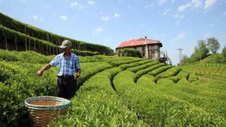 Çay toplayıcısının yevmiyesi arttı