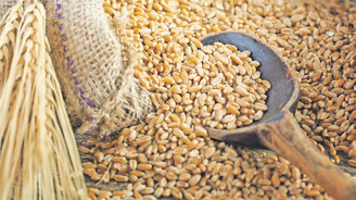 Buğdayda 2020 rekoltesinin 20.5 milyon tona ulaşması bekleniyor