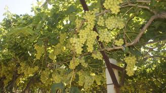 Superior Seedless çeşidi sofralık üzüm ihracat yolcusu