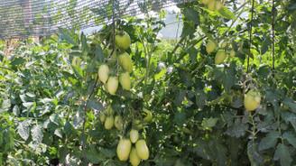 Ata tohumlarından ürün yetiştiren ziraat mühendisi hayalini gerçekleştirdi