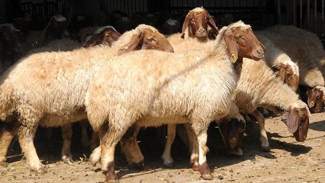 Hayvancılık desteklerine düzenleme