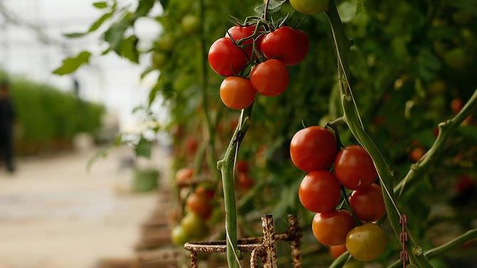 Domates ihracatı kısıtlamalara rağmen yüzde 44 arttı