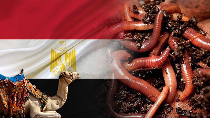 Mısırlı müşteri canlı solucan satın alacak