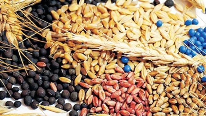 Tohum pazarı 3.5 milyar TL'ye yerli oranı % 95'lere ulaştı
