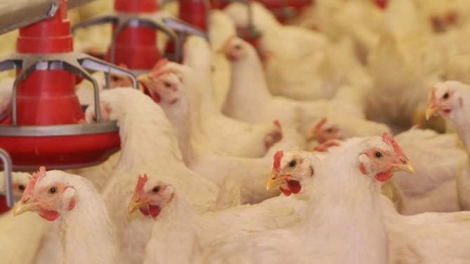 Kanatlı sektöründe ihracat geriledi