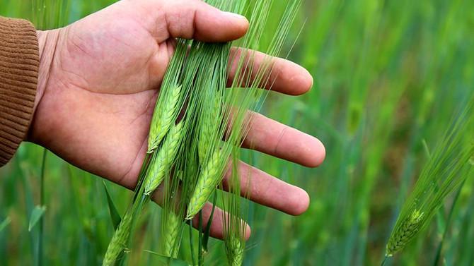 Nisan yağmuru çiftçilere 'deva' oldu