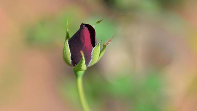 Halfeti'nin karagülü dört mevsim kokacak