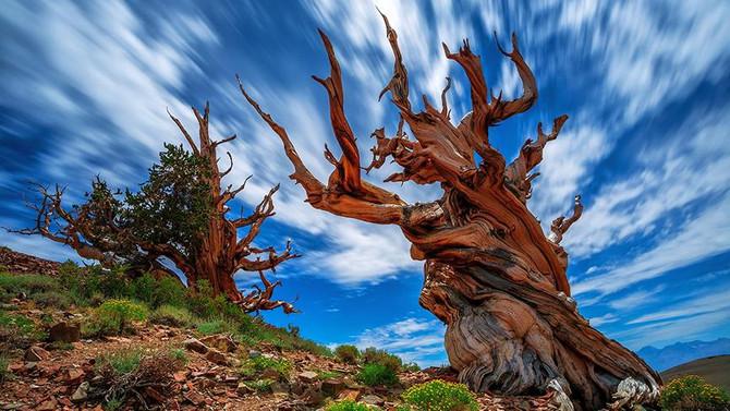 Yeryüzünün en yaşlısı 5 bin yıllık çam ağacı