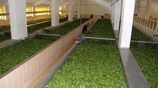 ÇAYKUR, 169 bin ton çay aldı