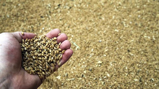 Çukurova'da buğday bereketi