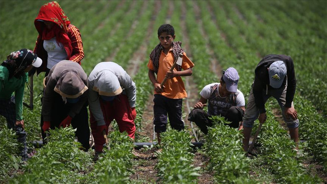 'İslahiye biberi'nde hasat hazırlığı