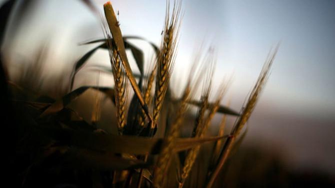 İklim değişikliği buğdayda kayıp yarattı