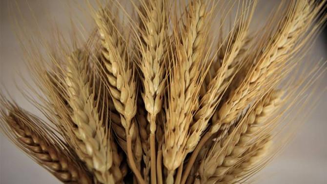 Buğdaydaki erken gelişim rekolteye yansıyacak