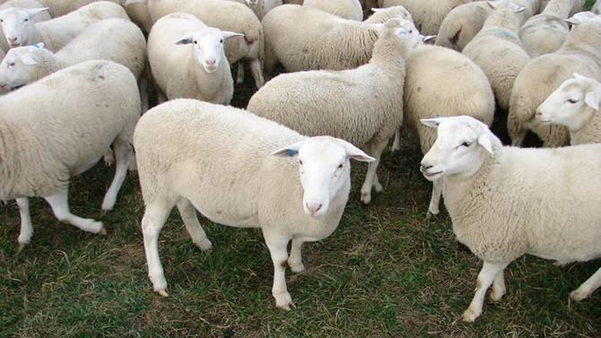 Fakıbaba, 300 koyun için tarih verdi