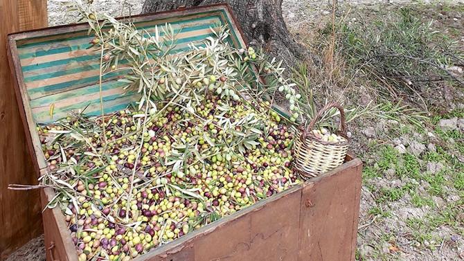 Ayvalık'ta erken hasat: Zeytinyağı için bu sene kalite yılı