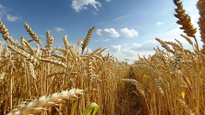 Buğdayda rekolte az, verim düşük